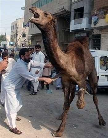عید قربان فضول محله